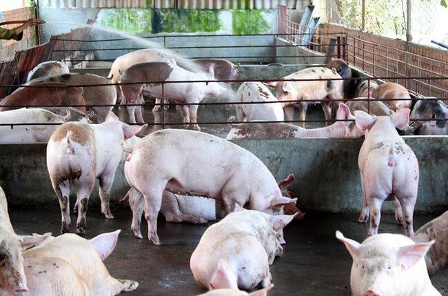 thuốc dịch tả lợn châu phi
