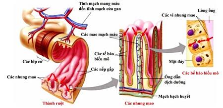Cấu tạo giải phẫu của ruột non