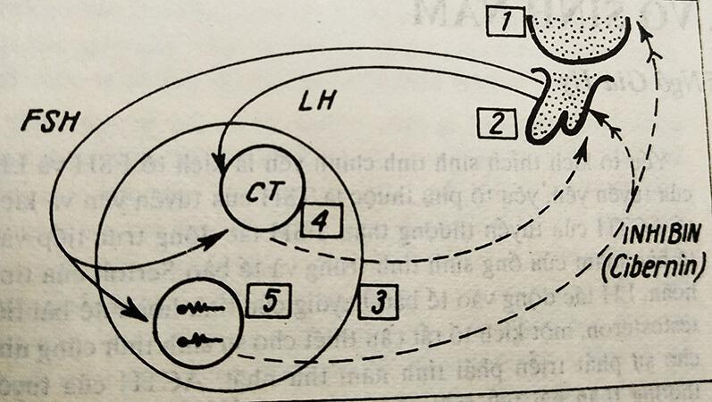Hình 2: Điều hòa testosteron và sinh tinh bởi LH và FSH qua trục dưới đồi - tuyến yên  Và Cơ chế phản hồi của inbihin vừa là 1 kích tố vừa là 1 cibernin