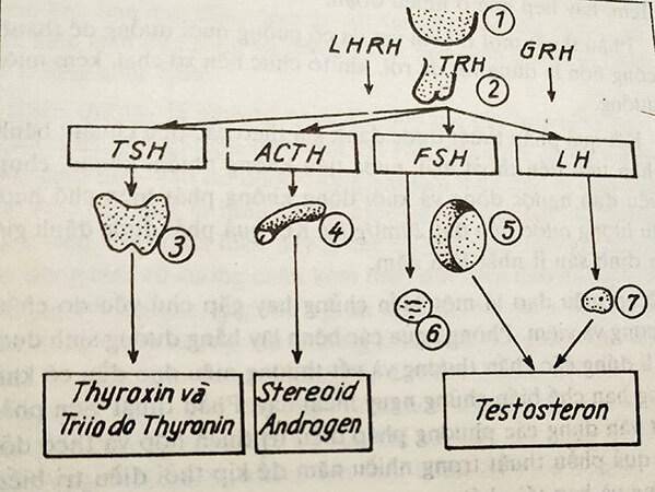 Hình 1: Trục dưới đồi - tuyến yên, tuyến sinh dục, tuyến thượng thận, tuyến giáp